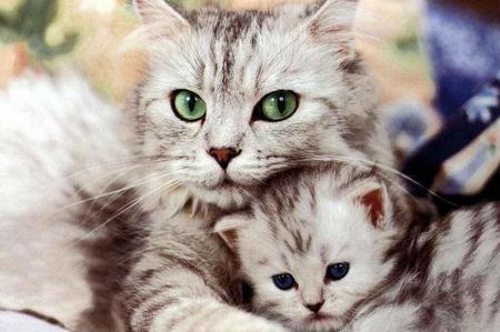 gatto in gravidanza